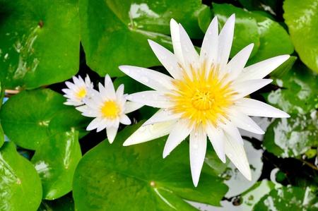 White lotus in the morning