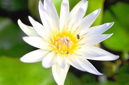 White lotus in the morning  photo