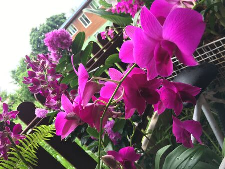 Orchid Philippines is very popular orchid to decorate infront of house.