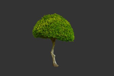 Isolated ficus altissima or the council tree