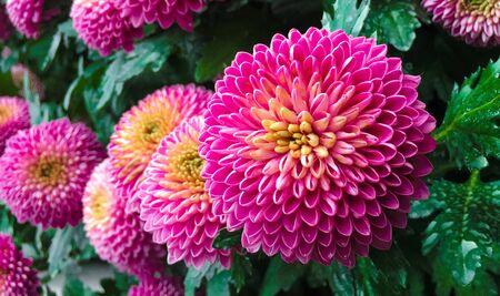 Pink pompons chrysanthemum flowers