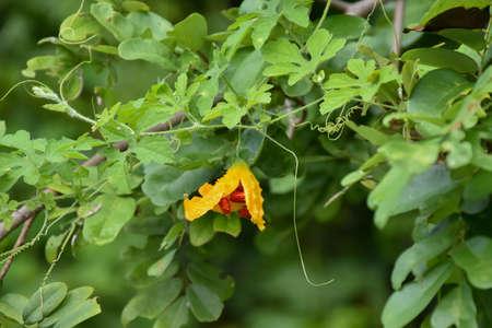 Ripe fruis of bitter melon or bitter gourd hang on its vine. 免版税图像