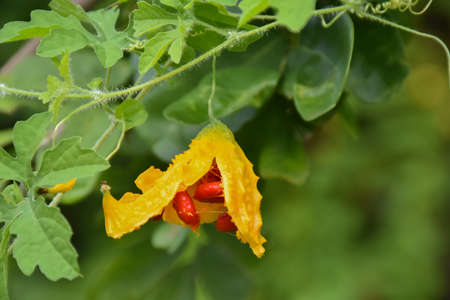 Blooming flowers, ripe fruits, leaves, tops and vine of bitter melon or bitter gourd.