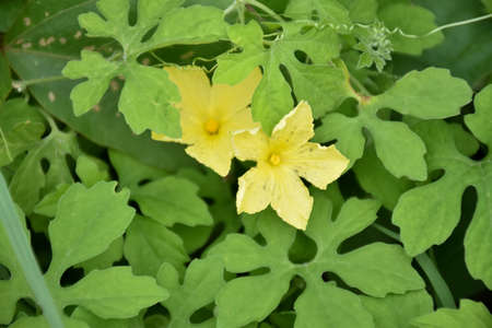 Bitter melon or bitter gourd leaves, tops and flowers. natural blurred background.
