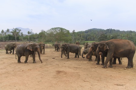 orphanage: National park. Pinnawala Elephant Orphanage. Sri Lanka. Stock Photo