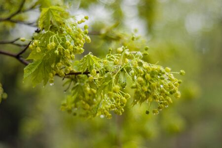 bloomy: Bloomy green tree branch with little flowers in spring time in park.