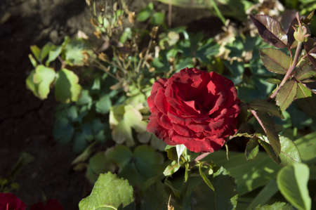 red rose in the summer garden