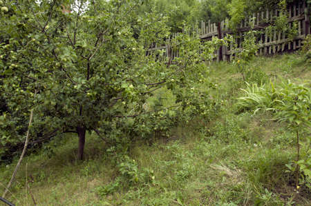 apple tree with green apples in the garden Imagens