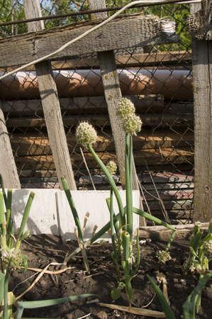 garlic flower in summer garden
