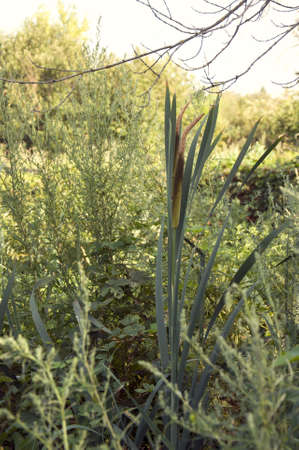 a narrow-leaved cattail in marshes Imagens