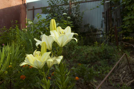white lilies in the shade of the house on a cloudy day 版權商用圖片
