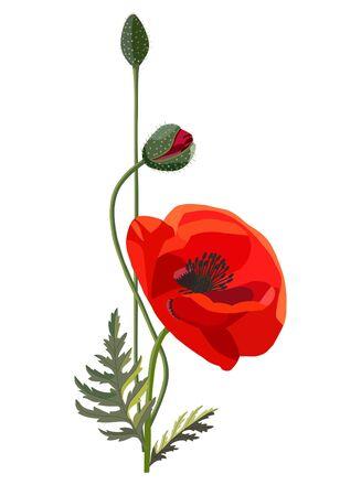 Poppy flowers isolated on white background. Vector Illustration