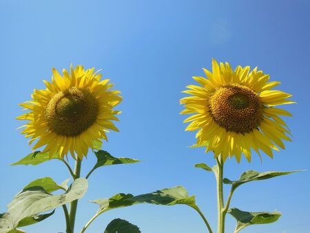 Two sunflowers photo
