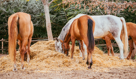 Brown and gray horses eating a hay at ranch summertime. Horses chewing dry grass on green trees background.