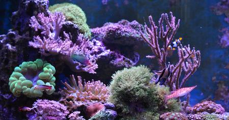 percula: Reef tank, marine aquarium full of fishes and plants. Tank filled with water for keeping live underwater animals. Gorgonaria, Clavularia. Zoanthus. Zebrasoma. Percula. Oxycirrhites typus, Bleeker.
