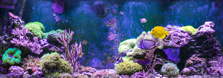 Reef tank, marine aquarium full of fishes and plants. Tank filled with water for keeping live underwater animals. Gorgonaria, Clavularia. Zoanthus. Zebrasoma. Percula. Oxycirrhites typus, Bleeker.
