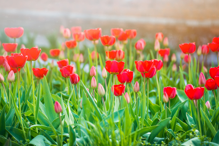 Flower tulips background. Beautiful view of the tulips under the sunlight landscape at the middle of the spring or summer. Tulipa field, spring flowers at green garden. Stock Photo