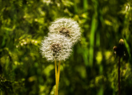 Dandelion fluff. Dandelion tranquil abstract closeup art background. Dandelion flower close up on natural background on summer or spring meadow. Floral background with copy space.
