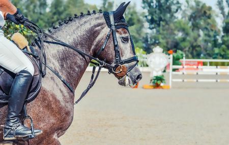 Dapple gray dressing horse and rider in uniform. Stock Photo