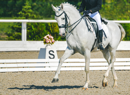 Dressage horse and rider in blue uniform. White horse portrait during dressage competition. Advanced dressage test. Copy space for your text.
