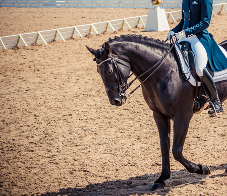 Dressage horse and rider in blue uniform. Black horse portrait during dressage competition. Advanced dressage test. Copy space for your text. Stock Photo