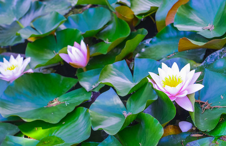 Tender pink water lilies, detailed view close up. Beautiful lotus flowers in the pond. Water lilly background with green leaves in the lake.