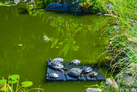 Group turtles in the sun on pond. Red-eared sliders in the wild, surrounded by typical flora.