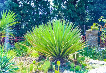 Exotic green cactus, agave and yucca plants grow in flower pots in a garden. Spiked peyote cactuses cultivated outdoor. Stock Photo