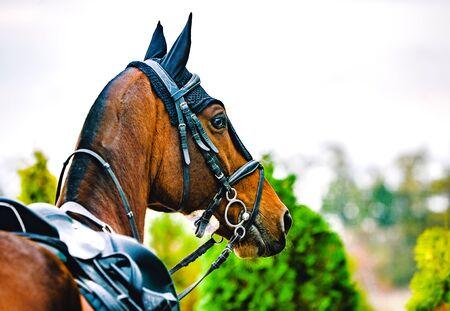 Black horse leather saddle, black saddle blanket and stirrups with dark straps dressed on the horse. Beautiful sorrel horse with bridle looking back.