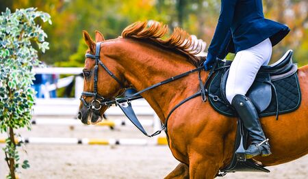 Cheval et cavalier en uniforme effectuant un saut lors d'une compétition de saut d'obstacles. Bannière horizontale de cheval pour la conception d'en-tête de site Web. Fond de sport équestre. Mise au point sélective. Banque d'images