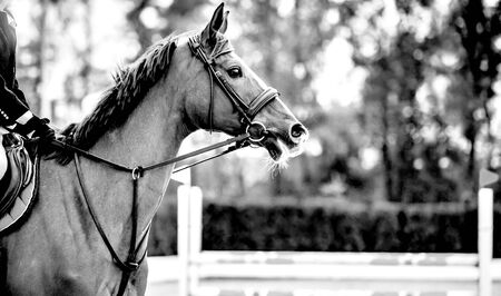 Rideron sorrel horse in jumping show, equestrian sports, black abd white. Light-brown horse and boy in uniform going to jump. Horizontal web header or banner design. Reklamní fotografie