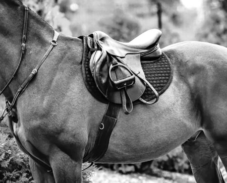 Black horse leather saddle, black saddle blanket and stirrups with dark straps dressed on the horse, black abd white.