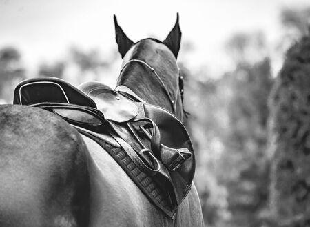 Black horse leather saddle, black saddle blanket and stirrups with dark straps dressed on the horse, black abd white. Beautiful sorrel horse with bridle looking back.