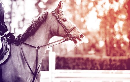 Rideron sorrel horse in jumping show, equestrian sports, duotone, black abd white. Light-brown horse and boy in uniform going to jump. Horizontal web header or banner design.