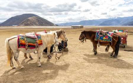 Horses in Shangri-La, China. In many places of Shangri-La, the most beautiful scenery cannot be admired without horses. The horses are provided by local Tibetans. Imagens