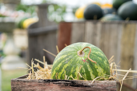 Green watermelon on straw in wooden crate. Organic orchard.
