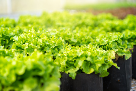 Fresh hydroponic lettuce vegetables in greenhouse. Banco de Imagens
