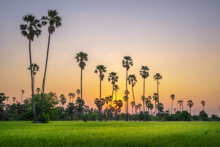 Countryside landscape under scenic colorful sky at sunset and sunrise over rice field and sugar palm trees.