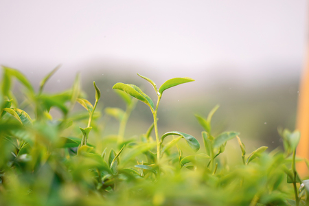 A close-up shot of fresh green tea leaves in Chiang Rai, Thailand.