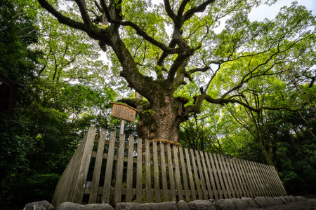 A Giant Camphor Tree, believed to be 1300 years old in the Atsuta Shrine.