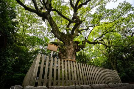 Sacred tree in Atsuta Shrine. Tsukazaki Giant Camphor Tree is 1300 years old. Editorial