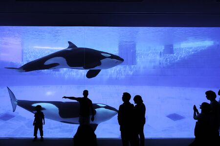 Nagoya, Japan – May 12, 2019: The silhouette of tourists watching an orca or killer whale whale at the aquarium. Banco de Imagens
