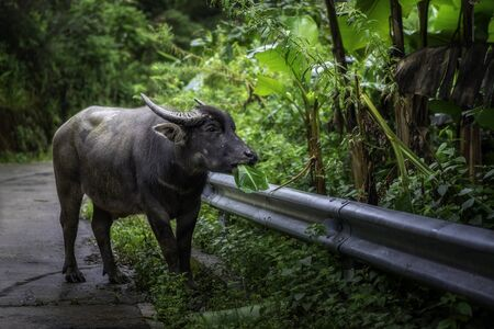 Buffalo on side of the road at Chiang Mai, Thailand.