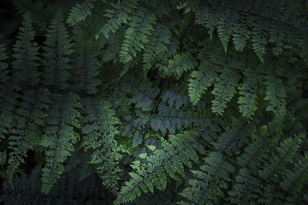 Natural green ferns growing in the rain forest. Nature background.