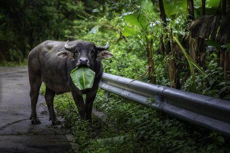 Buffalo eating banana leaves on side of the road at Chiang Mai, Thailand. Banco de Imagens