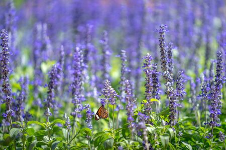 Purple flowers (salvia officinalis) blooming in the Park. Фото со стока