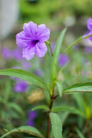 acanthaceae: Ruellia tuberosa flower color beautiful Stock Photo