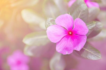 Catharina roseus or Madagascar rosy periwinkle,pink flower,pink tone Stock Photo
