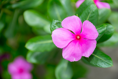 Catharina roseus or madagascar rosy periwinklepink flowerpink catharina roseus or madagascar rosy periwinklepink flowerpink tone stock photo 79666520 mightylinksfo