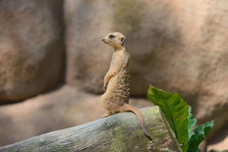 suricatta: Alert meerkat  Suricata suricatta  standing on guard Stock Photo